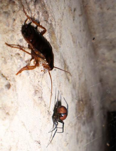 Foto 6. Araña de la especie Steatoda grossa en el registro del albañal haciendo su agosto./ Desinsectador 07-2013