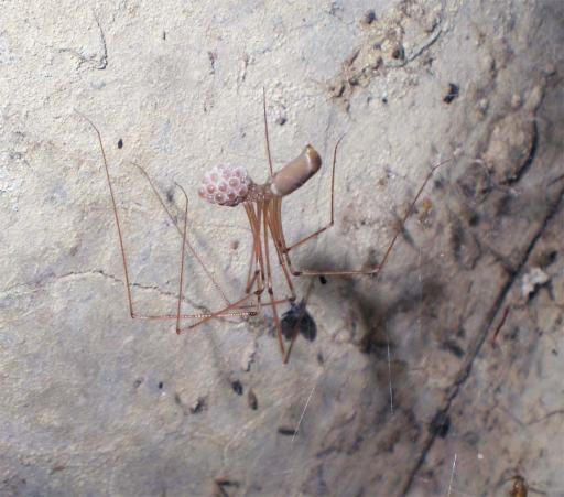 Foto 7. Araña de patas largas, Pholcus phalangioides, colgada de su tela con el saco de huevos./ Desinsectador 07-2013