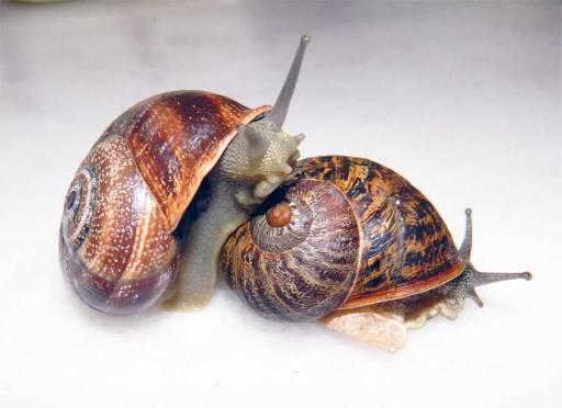Foto 1. Cabrilla, a la izquierda, subido sobre un caracol común./ Desinsectador 07-07-2013
