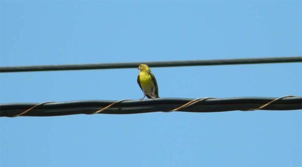 Foto 1. Verdecillo sobre cableado./ Desinsectador 07-2013