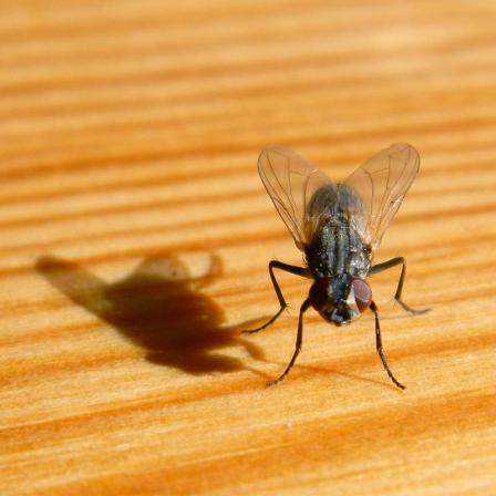 Foto 2. La mosca y su sombra están pendientes de mí por si tiene que alzar rápido el vuelo./ Desinsectador 11-08-2013