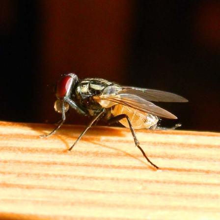 Foto 3. Me encanta el abdomen translúcido y de color miel./ Desinsectador 11-08-2103