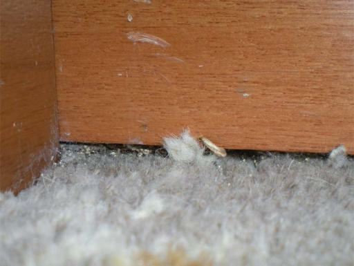 Foto 4. Una polilla en el suelo junto al zócalo. También se pueden ver excrementos de la larva de la polilla./ Desinsectador 09-2013