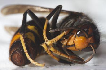 Imagen de una avispa asiática publicada en el periódico El País./ Carles López  Bustins
