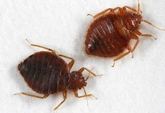 Fotografía publicada en número del mes de agosto de Pest Control Technology./ Michael F. Potter, Kenneth F. Haynes, Jennifer Gordon, Erich Hardebeck & Eric Arnold, 2013