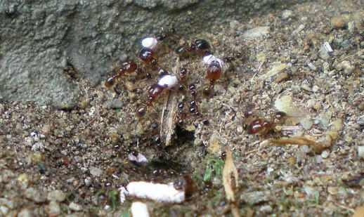 Foto 1. Hormigas de la especie Pheidole palidula introduciendo por la entrada del nido granos de Maxforce LN./ Desinsectador 09-2012