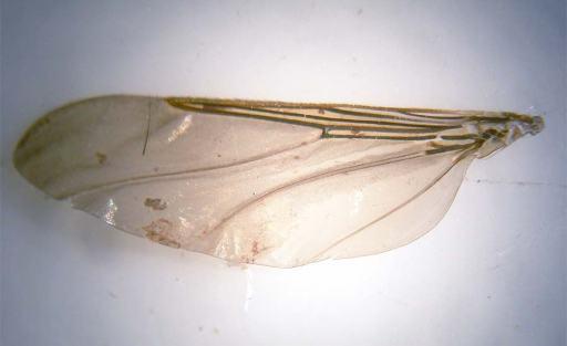 Foto 1. Ala de mosca de las palomas./ Desinsectador 10-2013