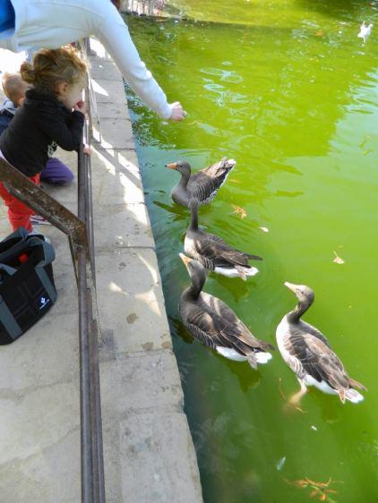 Foto 1. Gansos salvajes esperando comida./ Desinsectador 10-2013