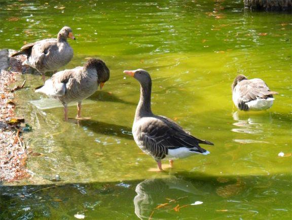 Foto 2. Gansos comunes, Anser anser, en el parque de la Ciudadela de Barcelona/ Desinsectador 10-2013