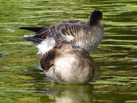 Foto 4. Cabeza de ganso común, Anser anser./ Desinsectador 10-2013