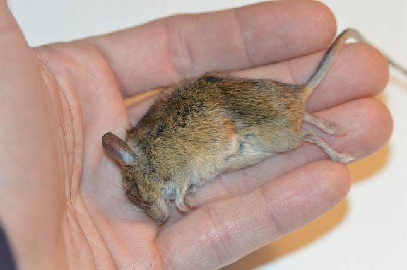 Foto 1. Ratón, Mus musculus, que murió en la puerta de la entrada del garaje de la empresa en la que trabajo./ Desinsectador 11-2013
