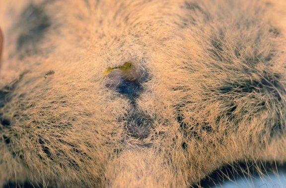 Foto 8. Parte de los genitales de un ratón, Mus musculus./ Desinsectador 11-2013