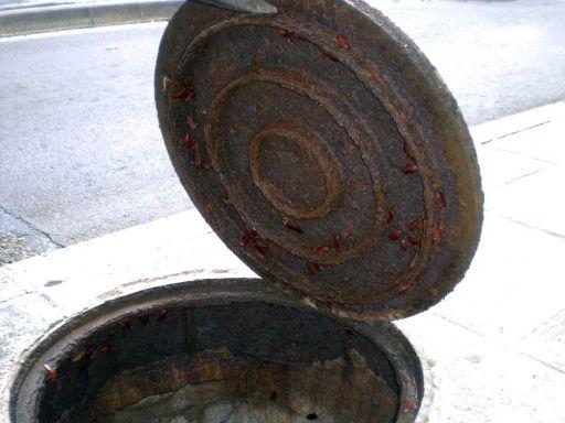Foto 2. Cucarachas en la tapa de un pozo de alcantarillado./ Desinsectador 11-2013