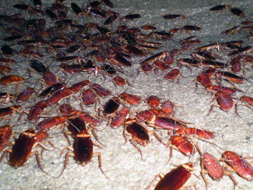 Foto 5. Cucarachas en un pozo de alcantarilla./ Desinsectador 11-2013