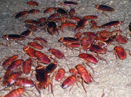 Foto 6. Cucarachas en un pozo de alcantarilla./ Desinsectador 11-2013
