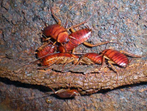 Foto 08. Ninfas de cucaracha en una tapa de alcantarilla./ Desinsectador 11-2013