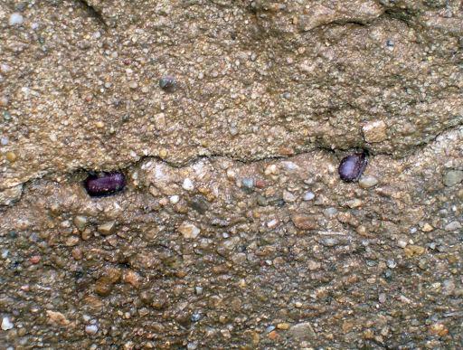 Foto 10. Ootecas pegadas en una grieta la pared de un pozo de alcantarillado./ Desinsectador 11-2013