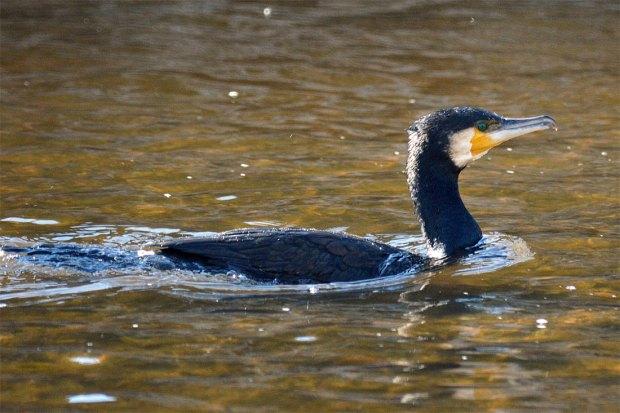 Foto 4. Cormorán grande nadando en el río Besós./ Desinsectador 12-2013