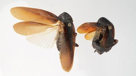 Imagen de Periplaneta japonica publicada por el periódico ABC.