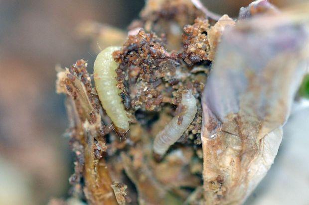 larva-plodia-01