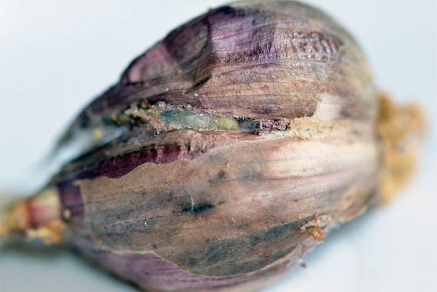 larva-plodia-05
