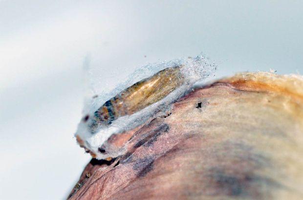 larva-plodia-06