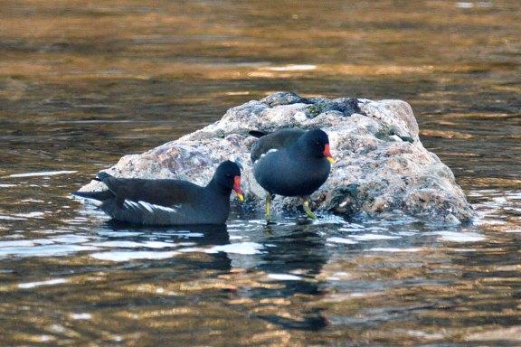 Foto 2. Dos pollas de agua sobre una roca./ Desinsectador 12-2013