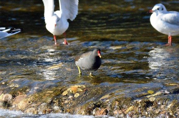Foto 1. Polla de agua caminando sobre las rocas en el río Besós a la altura de Santa Coloma de Gramanet./ Desinsectador 12-2013