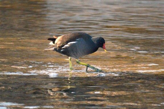 Foto 3. Polla de agua caminando./ Desinsectador 12-2013