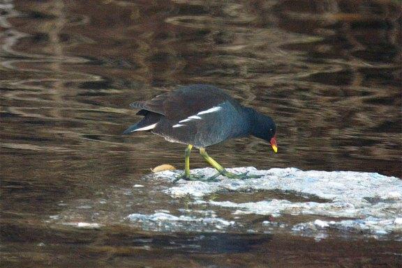 Foto 4. Polla de agua buscando alimento./ Desinsectador 12-2013