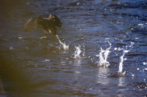 Foto 5. Polla de agua que se asustó al verme y salió al vuelo./ Desinsectador 12-2013