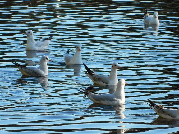 Foto 2. Gaviotas reidoras en el río Besós, Barcelona./ Desinsectador 11-2013