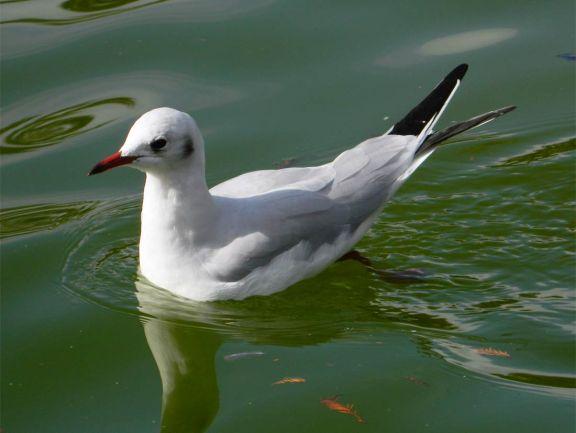 Foto 3. Gaviota reidora en el estanque del parque de la Ciudadela./ Desinsectador 11-2013