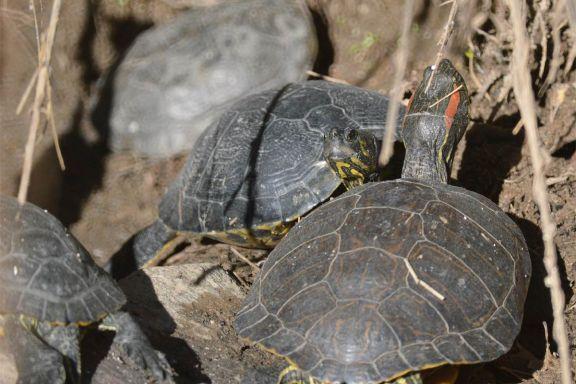 Foto 1. Tortugas de orejas rojas en primer plano. Al fondo, un galápago leproso./ Desinsectador 12-2013