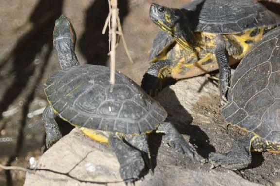 Foto 3. Tortugas de orejas rojas./ Desinsectador 12-2013