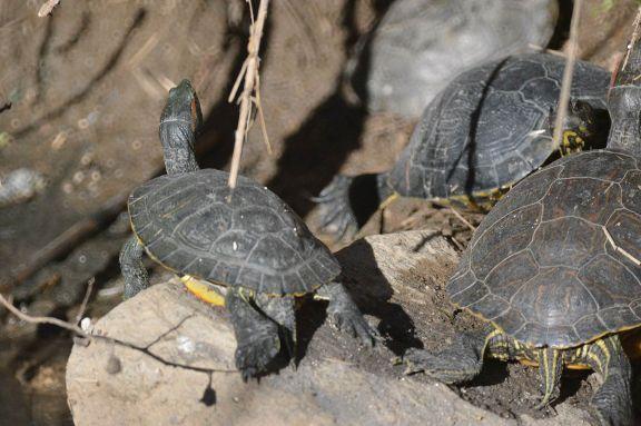 Foto 2. Tortugas de orejas rojas./ Desinsectador 12-2013