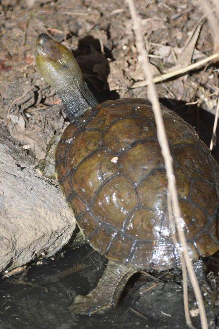 Foto 5. Tortuga leprosa./ Desinsectador 12-2013
