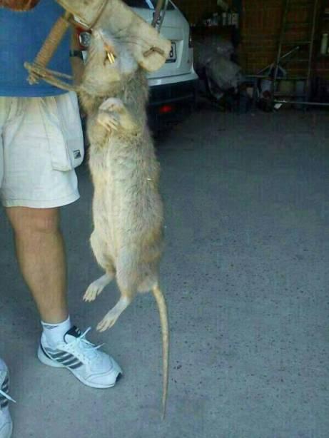Foto 2. Imagen de una rata gigante cazada en el Serrallo, Almassora./ Levante El Mercantil Valenciano 30-08-2013
