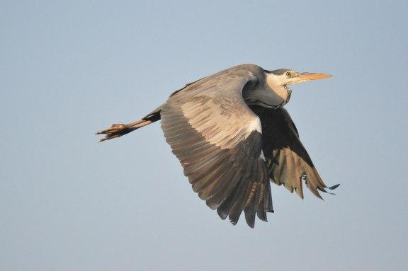 Foto 3. Garza real volando sobre el río Besós./ Desinsectador 01-2014