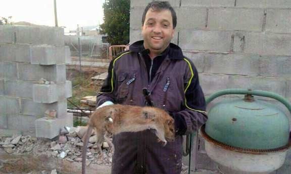Nueva especie invasora la rata de gambia el - El tiempo en vidreres ...
