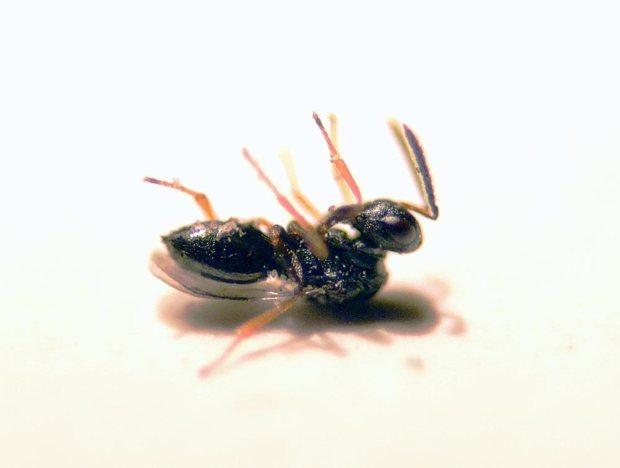 anisopteromalus-03