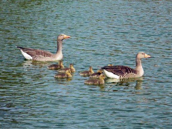 Foto 1. Pareja de gansos con sus crías./ Desinsectadora 03-2014