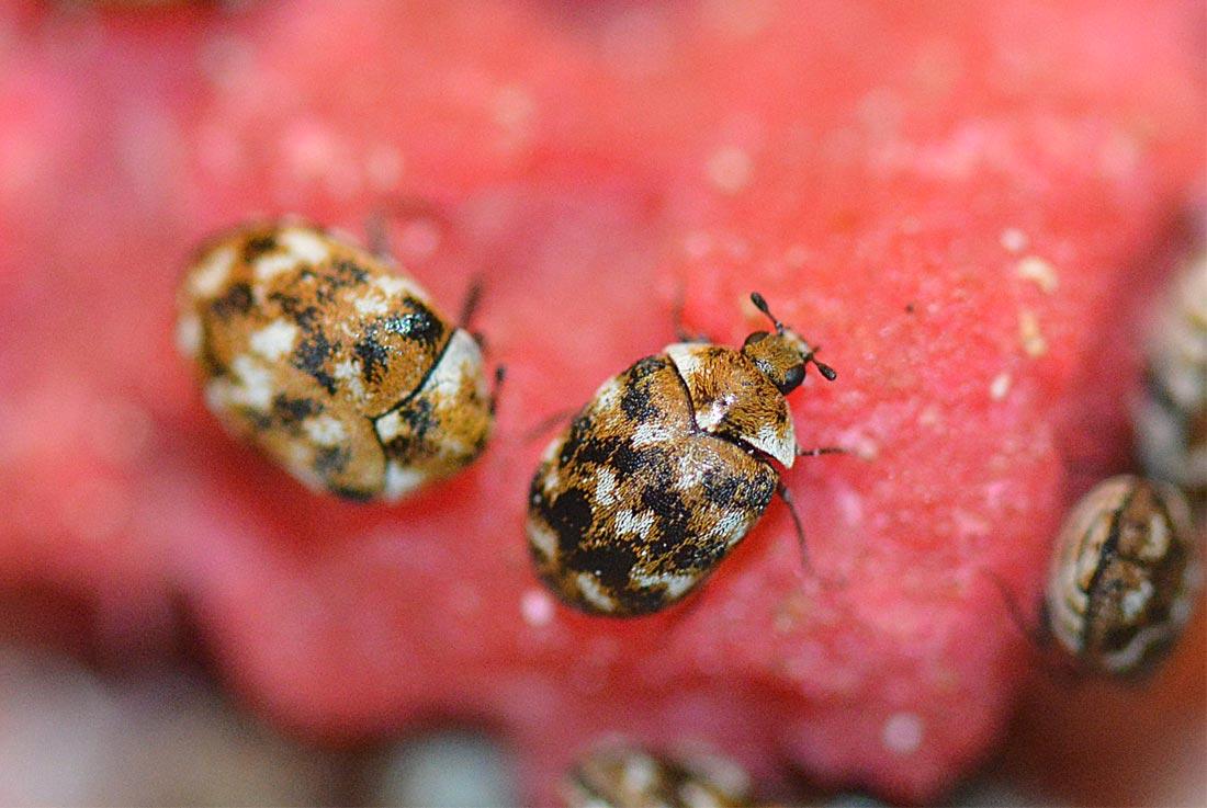 escarabajos Anthrenus verbasci