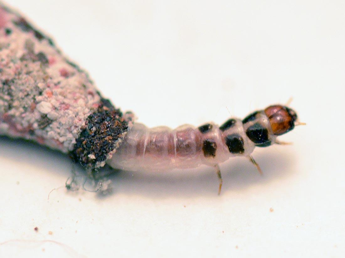 gusanos pequeños en la ropa