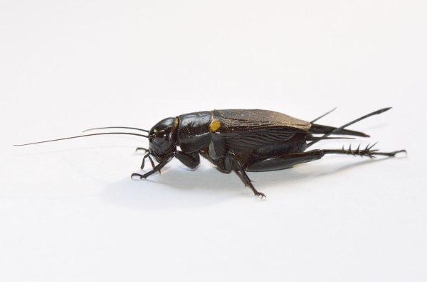 bimaculatus-01