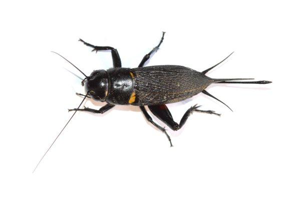 bimaculatus-03