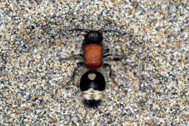 Hormigas de terciopelo o de felpa, mutílidos (Hymenoptera ...