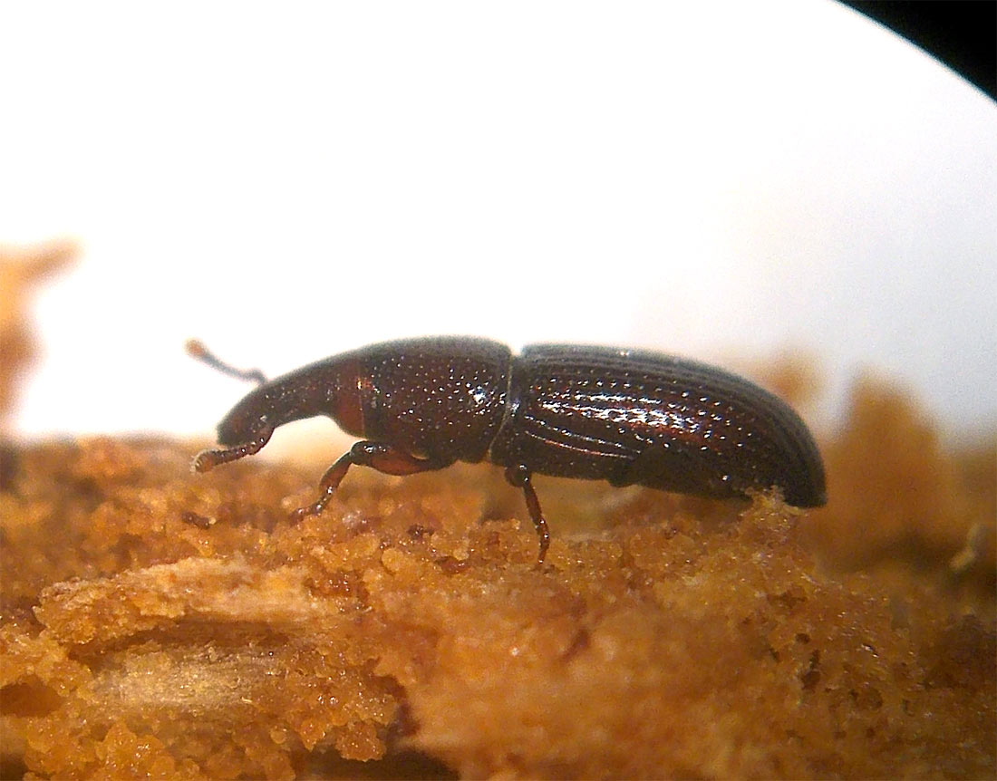 Gorgojo taladrador de la madera Euophryum (Curculionidae) – El ...