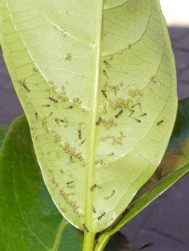 Fig 1. Hormigas sacando partido a pulgones./ Desinsectador 07-2014