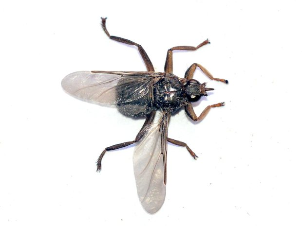 mosca-palomas-02
